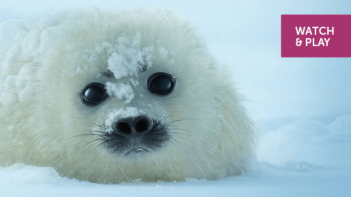 A seal pup lies on the ice.